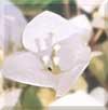 ブーゲンビリア(ホワイト)
